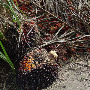 Medium 1000px fruit oil palm